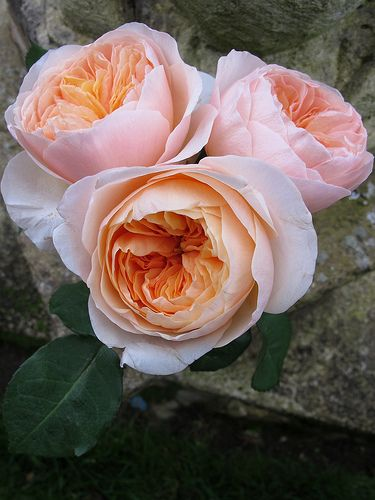 Juliet is a cut rose with a very individual character - pale peach outer petals around a glowing apricot centre.