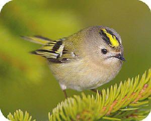 Goudhaantje (Regulus Regulus) een frequent bezoeker van tuinen waar veel naaldbomen staan, het kleinste vogeltje van Europa.