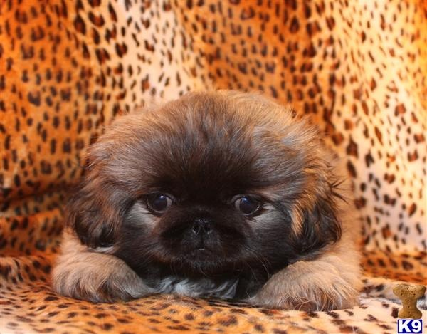 Pekingese in North Texas - Pekingese Puppies for Sale