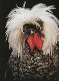 Exotic Chicken Breeds - Funky chicken