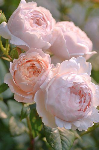 Rosas lindas e suaves