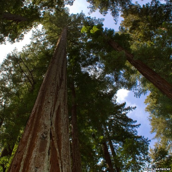 The giants of the plant world are unquestionably the coast redwoods, found in the north-west of the US. The record for the tallest living tree belongs to this species, Sequoia sempervirens. An individual known as Hyperion was recorded at 115.6m (379.3ft). Zoe Dunford, spokeswoman for the John Innes Centre for plant and microbial research, said the feats achieved by the world of plants provided an insight to ways to deliver food, medicine and biofuels more productively and sustainably