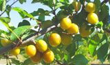 Mirabelle de Nancy/Mar2624/SPRING-- the plums that were at Aunti's house!!