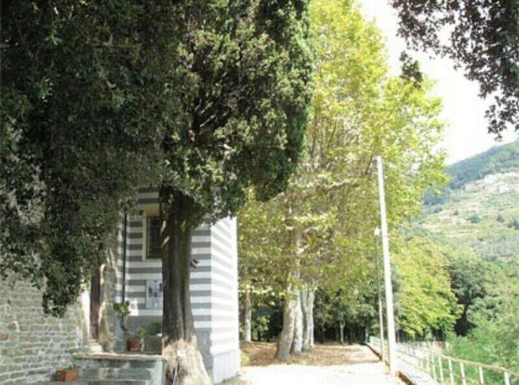 Il Cipresso del Santuario di Nostra Signora di Reggio, Vernazza (SP)