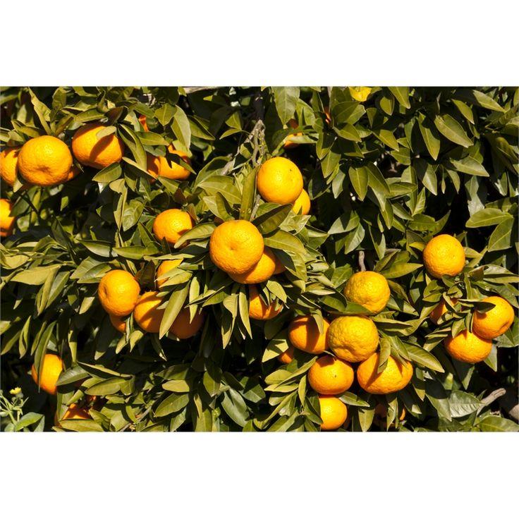 Plant Citrus Mandarin Miho  3.5L