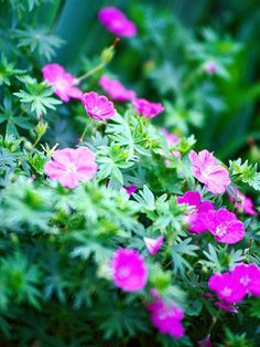 Cranesbill, aka Perennial Geranium - This pretty, flowering plant comes in pinks and blues, and realm when cut back after blooming. They love partial shade, but will grow in deeper shade. Rich soil and regular fertilizer, regular water and room to spread 24-36 inches per plant, depending on the variety. Some varieties grow close to the ground, and others to 3 feet tall.