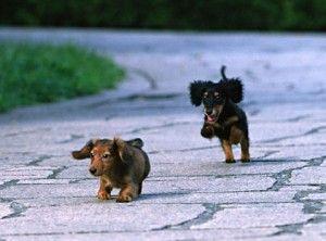 Fall Wallpaper Dog Weenie Best 25 Miniature Dachshunds Ideas On Pinterest