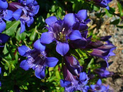 Цветок гентиана или горечавка: фото цветов и описание выращивания. Синяя, желтая и бесстебельная горечавка
