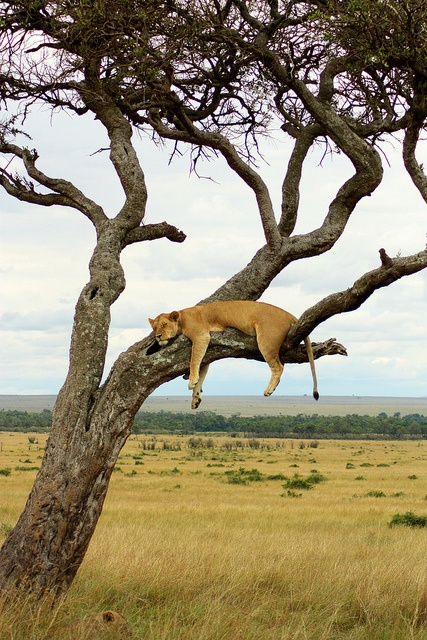 Lioness sleeping in tree by jimbobular, via Flickr