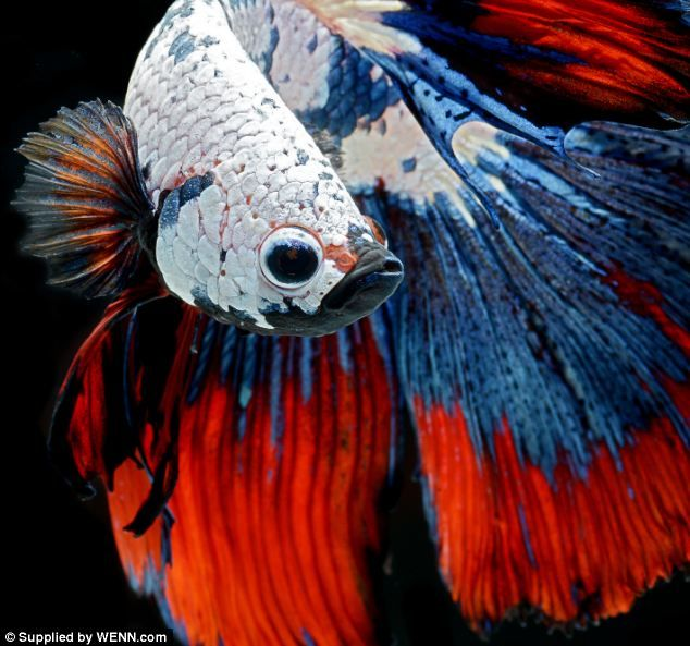 Mid-air: A Thai photographer has created a series of phenomenal portraits of Siamese fighting fish