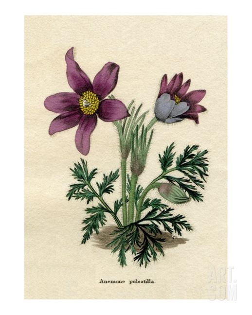 Anemone pulsatilla or Pasque flower reproduction from Benjamin Maund's Botanic Garden 1829 - Art.com - $20