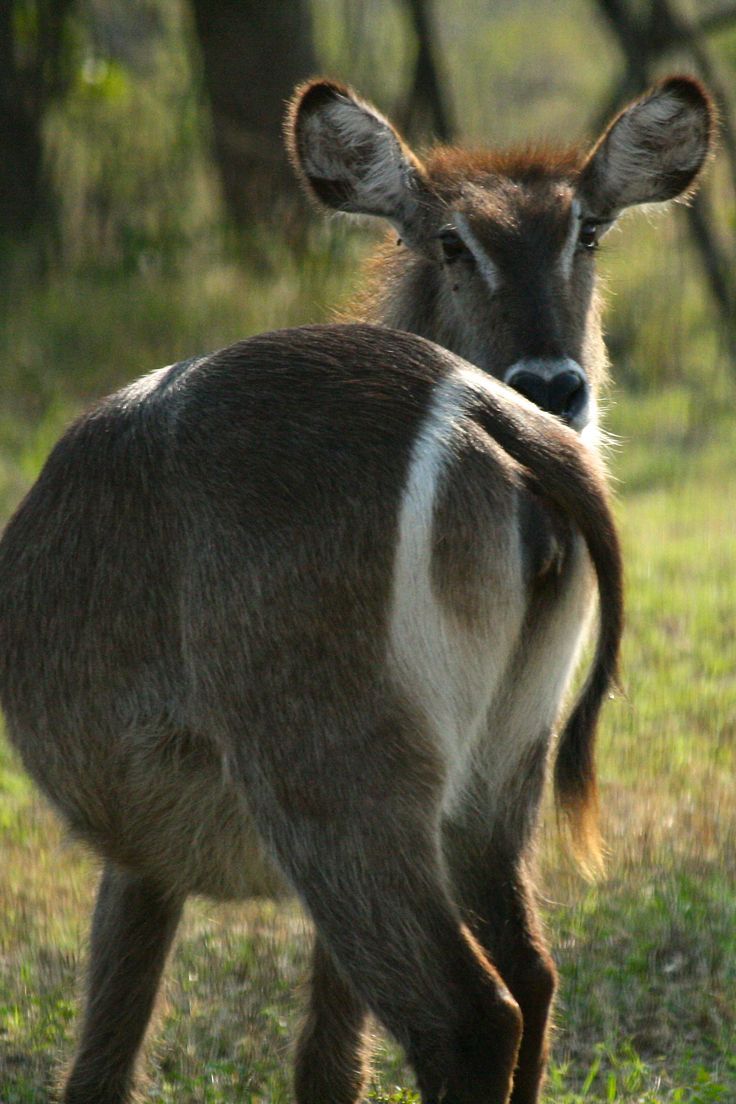 Female waterbuck. Folklore says the white ring encircling their rump was made by an angry villager who threw a tin of paint at a waterbuck when she knocked over all his pots of paint and ruined his hard work. The waterbuck found her new white circle helped her young follow her at night and decided to keep it.