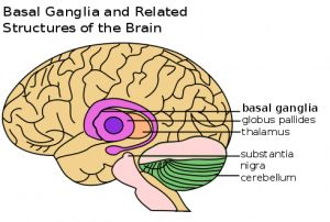 Feeling Stimulated by your Coffee? Look to the Basal Ganglia of your brain
