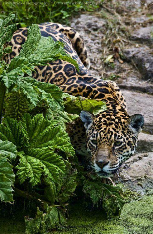 ☀Female Jaguar sheer feline powerhouse so beautiful and very endangered.