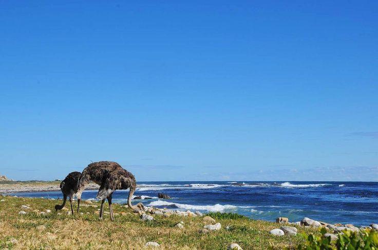 Qu'elles sont gourmandes ces autruches! Au mythique Cap de Bon Espérance à quelques minutes de voiture du Cap elles arpentent le bord de mer à la recherche de quelques graines nourrissantes. Et vous vous pouvez admirer la vue depuis le Cap des légendes! . #capetown #southafrica #lecap #afriquedusud @capetownmag @cityofcapetown @visitsouthafrica #lovecapetown #travel #trip #traveler #travelblog #blogvoyage #instatravel #travelgram #traveladdict #instagram #instamood #instagood #instadaily…