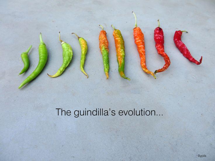 The guindilla's evolution...