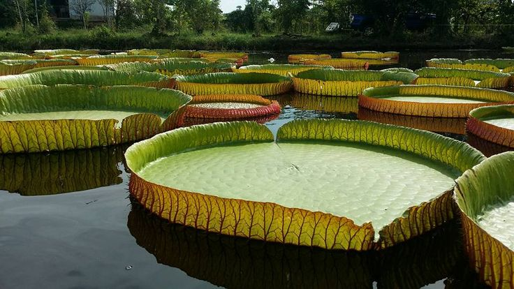 Giant Victoria Lilies In Phitsanulok, northern Thailand   Pack ...