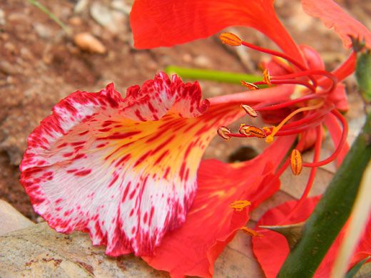 98 best images about Gulmohar - The Flame tree on ... Palash Flower Wallpaper