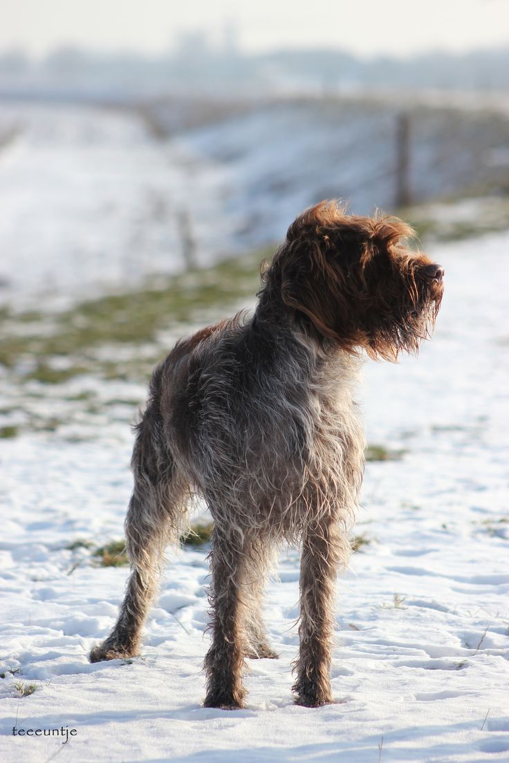 23 best Wirehaired Pointing Griffon images on Pinterest | Wirehaired ...
