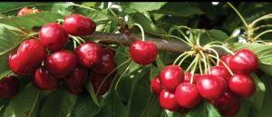 'Royal Crimson' Cherry tree