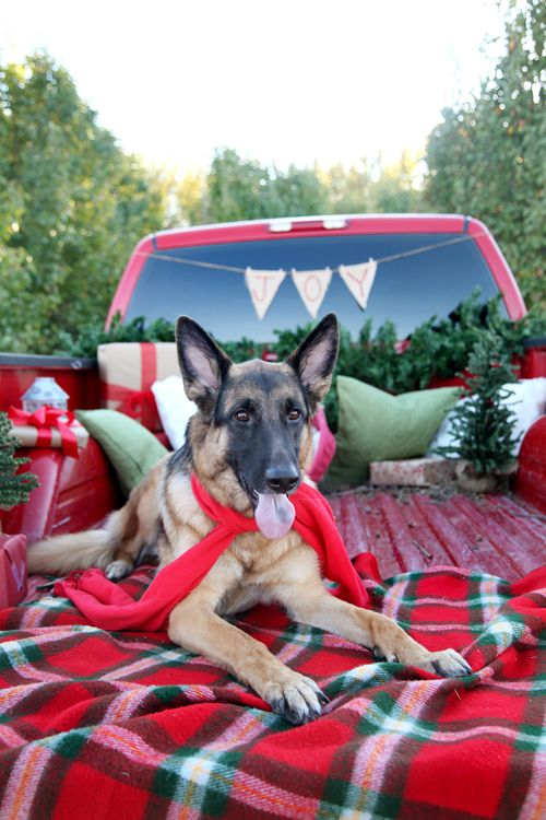 Christmas dog photo in truck