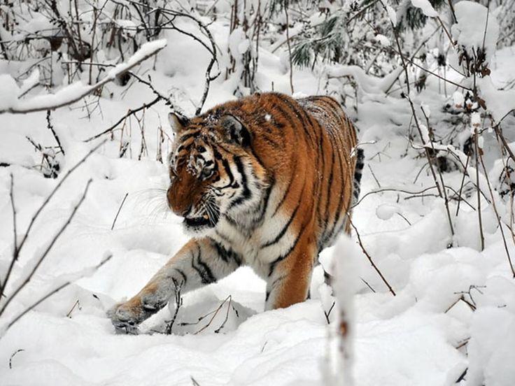 tiger wild snow - photo #38