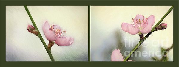 A two photograph collage of soft and pretty spring blossoms from a flowering Nectarine Tree in my garden enhanced with a touch of digital painting for a feeling of warmth and softness. #Pink #Blossom #Collage by #Kaye_Menner #Photography Quality Prints Cards Products with a money back guarantee at: https://kaye-menner.pixels.com/featured/pink-blossom-collage-by-kaye-menner-kaye-menner.html