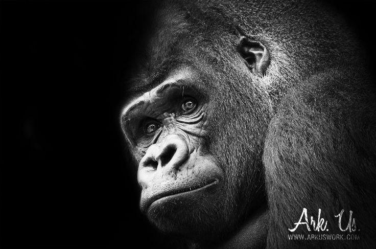 Poster portrait d'un gorille noir et blanc 20x30cm : Photos par ark-us
