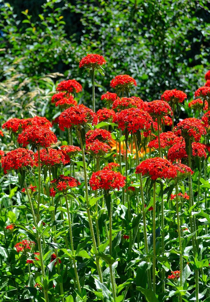 maltese cross LYCHNIS CHALCEDONICA red flower 1600 seeds