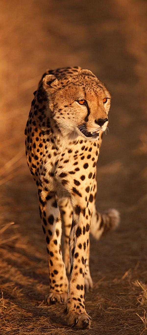 Cheetah in the Masai Mara #Africa