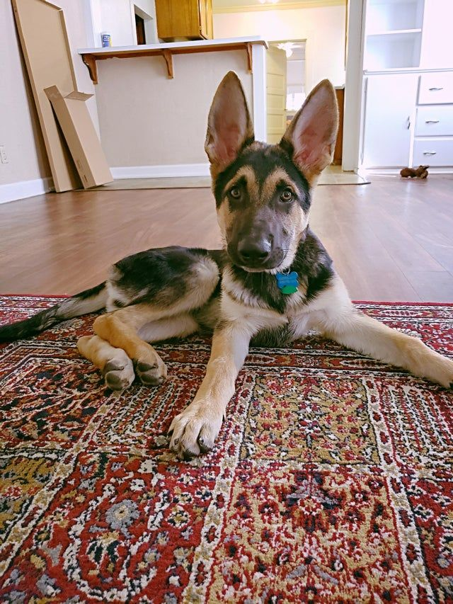 Loving This All Ears And Tail Stage Gsd Puppies German