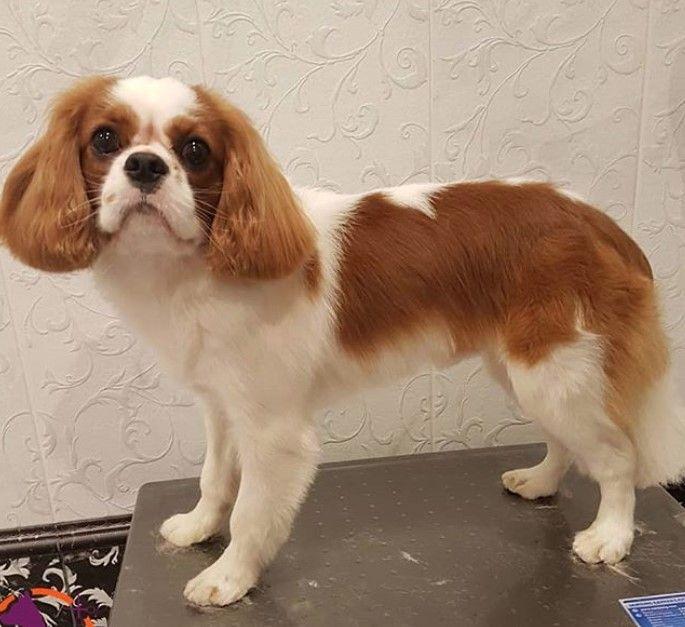 10 Best Cavalier King Charles Spaniel Haircuts Page 2 Of 4 The Paws King Charles Dog Cavalier King Charles King Spaniel
