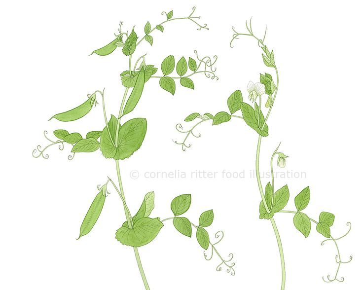 illustration peas