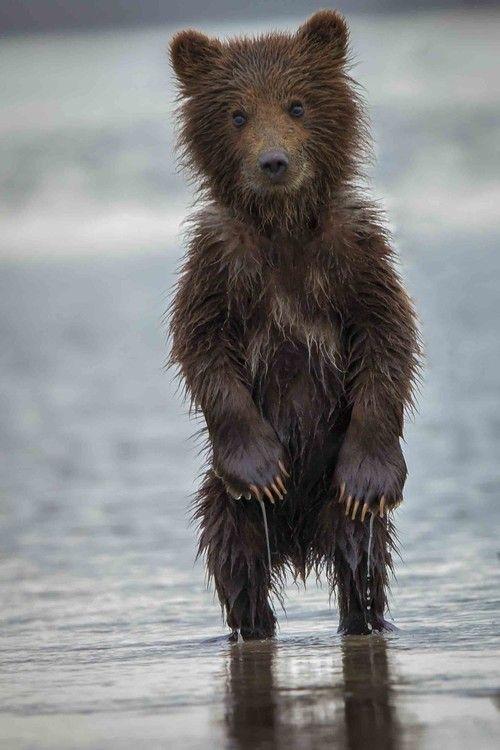 Wet bear cub                                                                                                                                                                                 Mais