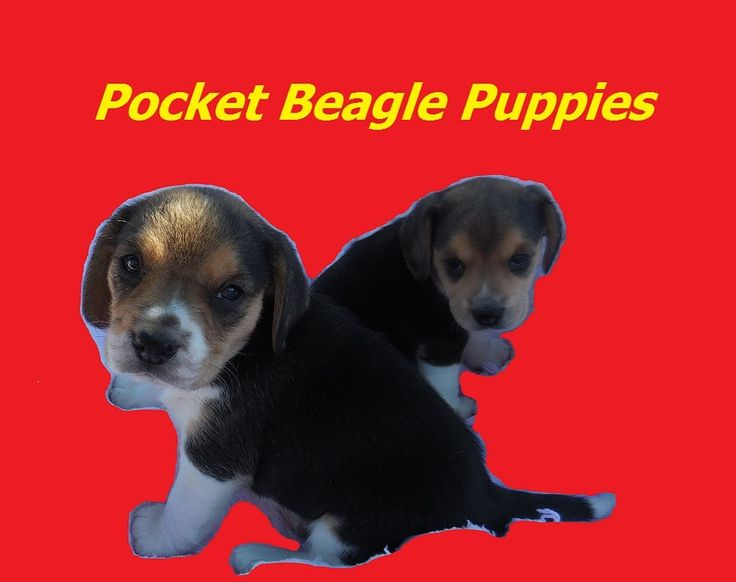 Miniaturei Pocket Beagle Puppies Tiny Cute Beagles For Sale