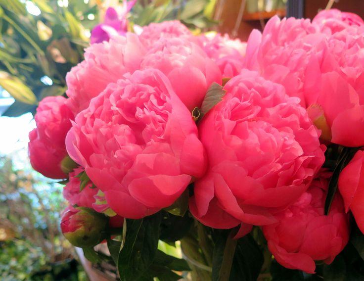 Lush, fragrant peonies