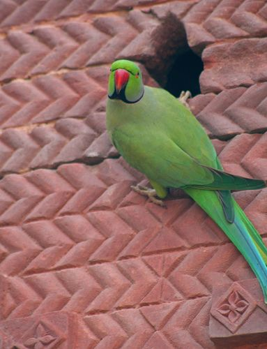 African Ring-Necked Parakeets