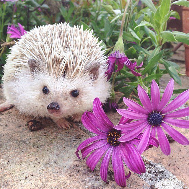 Flower Power: Here's a hedgehog that wants to smell the flowers with you. Source: Instagram user sheldonthehedgehog