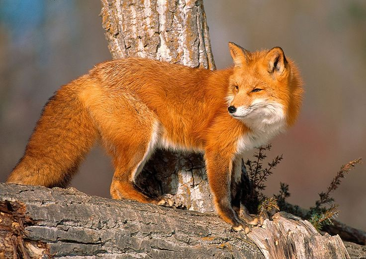 78 Best  foxes images