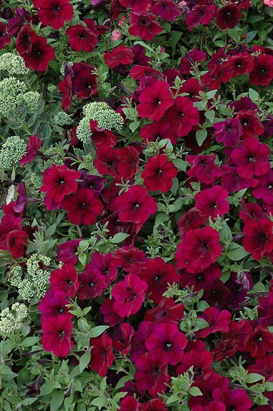 Easy Wave Burgundy Velour Petunia Calloway S Nursery Petunias