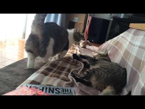 猫 クロくんVSレンくん②