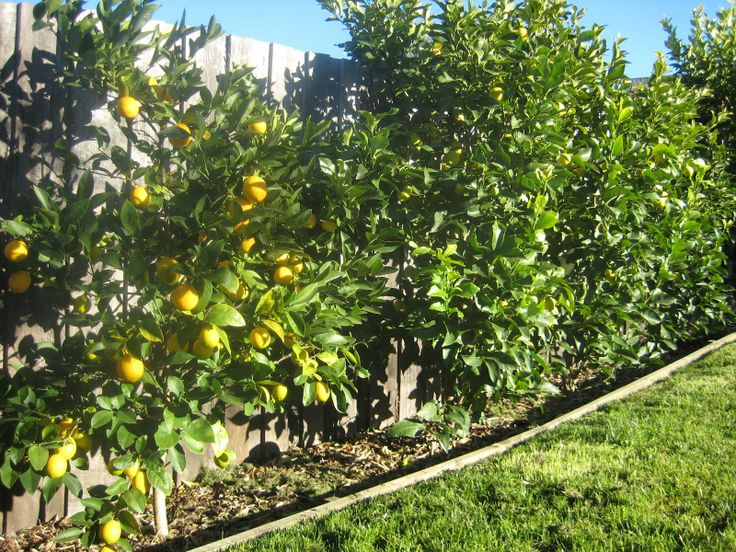 lemon fence | ... . Three years ago I planted a lemon hedge against our back fence