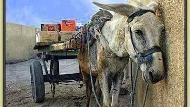 É notável, que apesar de já estarmos no século XXI, vemos em Paranavaí-PR inúmeras carroças sendo puxadas por animais de tração, principalmente por cavalos, burros e mulas. É inadmissível a continuidade deste tipo de prática, pois em grande maioria (isto para não dizer todos) puxam centenas de quilos...