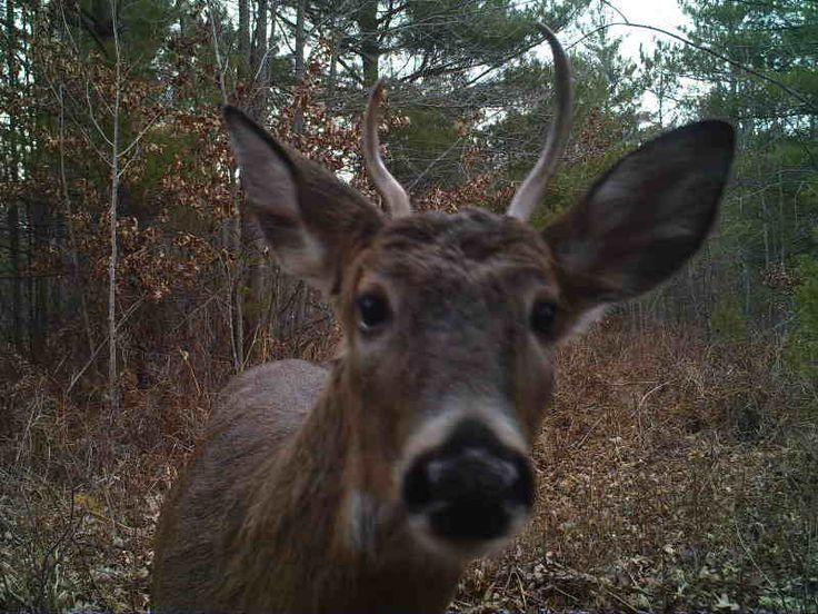Spikebuck-Jackson County