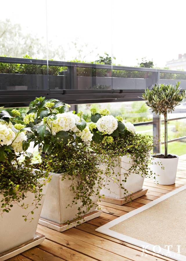 Ruukuissa kukkivat valkoiset hortensiat ja pienilehtiset nauhapensaat.   Minimalistin keidas   Koti ja keittiö   Kuva Kirsi-Marja Savola