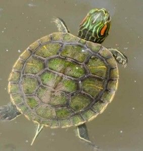 There are many things that one needs to consider in order to get a good red eared slider turtle's habitat. There is lighting, water, area heating, and tank size. The average red eared slider turtle can live to be anywhere from 50 to 70 years old. A captive red eared slider turtle can live to …