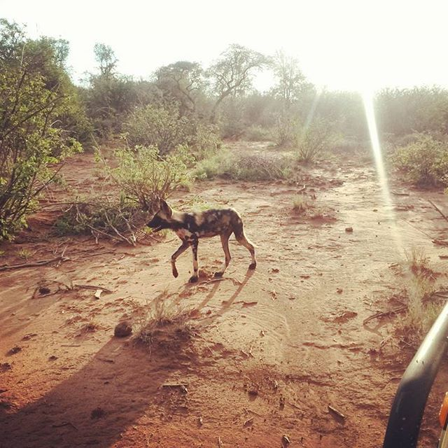 The Wild dog pups are growing up so quickly... Photo Credit: Chantelle Terblanche