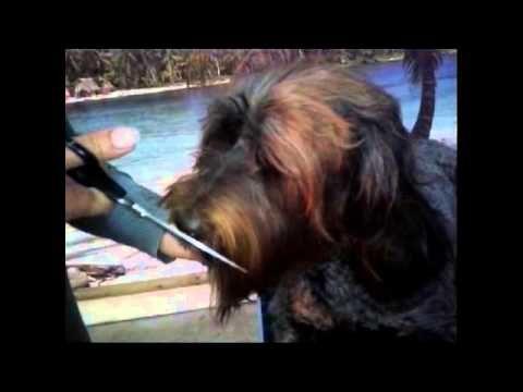 Grooming your labradoodle ; Knippen van de snor