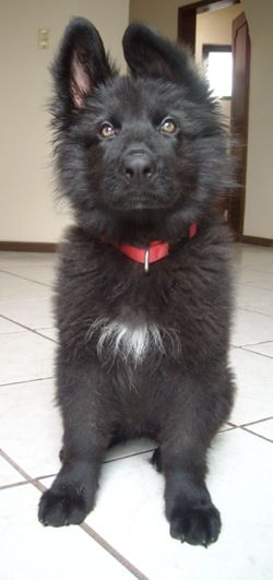Emma the black longhaired Belgian Shepard puppy at 12 weeks old.