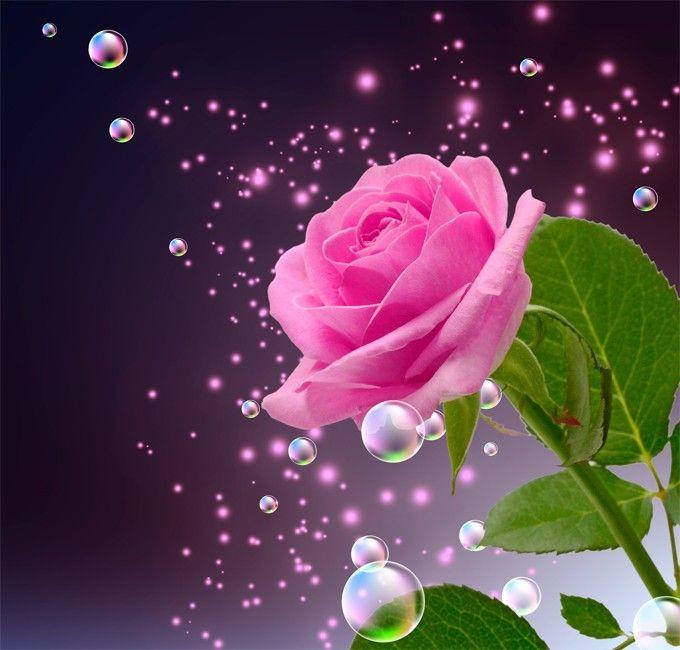 Pictures: Beautiful Roses   Amazing Photos